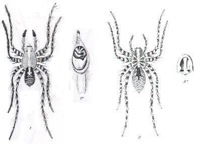 Image of <i>Hogna crispipes</i> (L. Koch 1877)