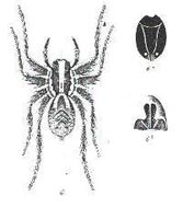 Image of <i>Venatrix ornatula</i> (L. Koch 1877)
