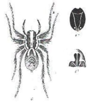 Image of <i>Venatrix ornatula</i> (L. Koch 1877)