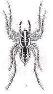 Image of <i>Geolycosa infensa</i> (L. Koch 1877)