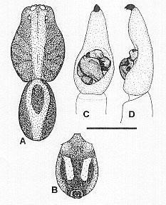 Image of <i>Venatrix speciosa</i> (L. Koch 1877)