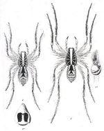Image of <i>Allocosa flavisternis</i> (L. Koch 1877)