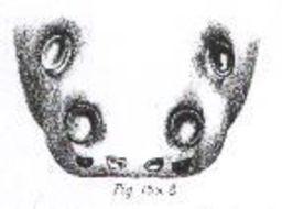 Image of <i>Lycosa cowlei</i> Hogg 1896