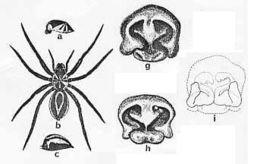Image of <i>Venatrix summa</i> (Mc Kay 1974)