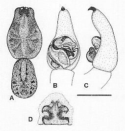 Image of <i>Venatrix koori</i> Framenau & Vink 2001
