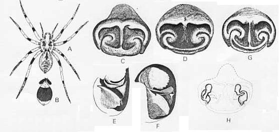 Image of <i>Lycosa koyuga</i> Mc Kay 1979
