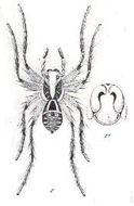 Image of <i>Hogna senilis</i> (L. Koch 1877)