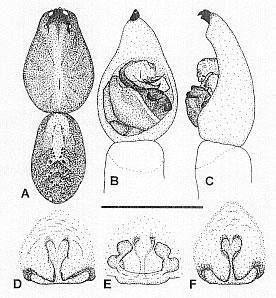 Image of <i>Venatrix fontis</i> Framenau & Vink 2001