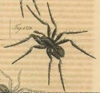 Image of <i>Venatrix funesta</i> (C. L. Koch 1847)
