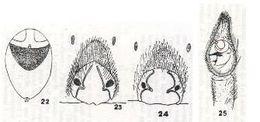 Image of <i>Alopecosa madigani</i> (Hickman 1944)