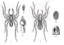 Image of <i>Venatrix furcillata</i> (L. Koch 1867)
