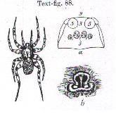 Image of <i>Venatrix arenaris</i> (Hogg 1906)