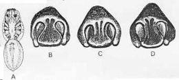 Image of <i>Venatrix pullastra</i> (Simon 1909)
