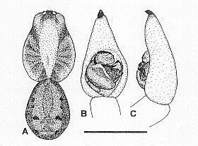 Image of <i>Venatrix archookoora</i> Framenau & Vink 2001
