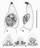 Image of <i>Venatrix lapidosa</i> (Mc Kay 1974)