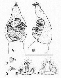 Image of <i>Venatrix amnicola</i> Framenau 2006