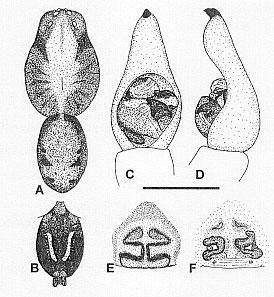 Image of <i>Venatrix australiensis</i> Framenau & Vink 2001