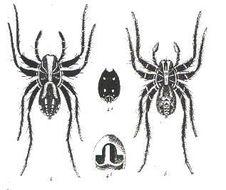 Image of <i>Venatrix pictiventris</i> (L. Koch 1877)