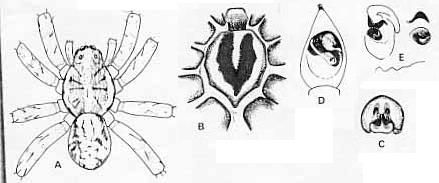 Image of <i>Venatrix konei</i> (Berland 1924)