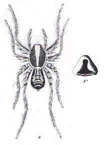 Image of <i>Agalenocosa fallax</i> (L. Koch 1877)
