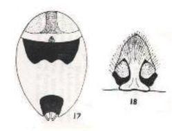 Image of <i>Allocosa finkei</i> (Hickman 1944)