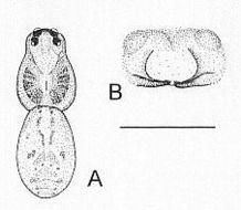 Image of <i>Artoria cingulipes</i> Simon 1909