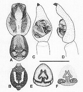 Image of <i>Venatrix mckayi</i> Framenau & Vink 2001
