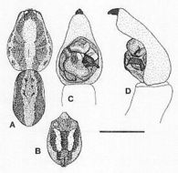 Image of <i>Venatrix pseudospeciosa</i> Framenau & Vink 2001