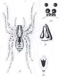 Image of <i>Hogna subligata</i> (L. Koch 1877)