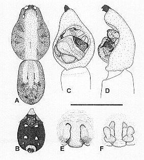Image of <i>Venatrix allopictiventris</i> Framenau & Vink 2001