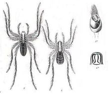 Image of <i>Geolycosa festina</i> (L. Koch 1877)