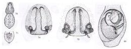 Image of <i>Lycosa hickmani</i> (Roewer 1955)