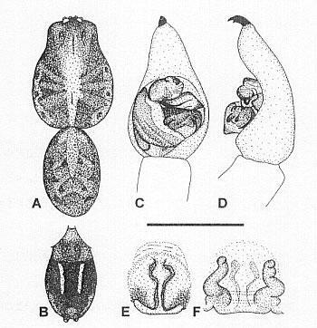 Image of <i>Venatrix penola</i> Framenau & Vink 2001