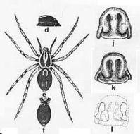 Image of <i>Venatrix kosciuskoensis</i> (Mc Kay 1974)