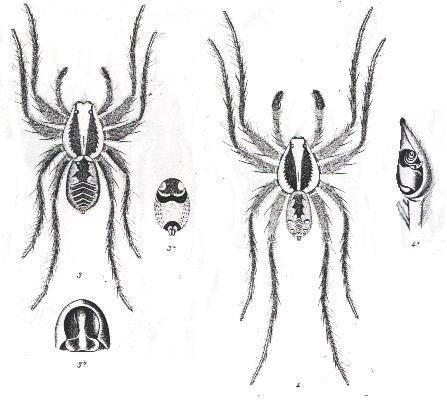 Image of <i>Allocosa palabunda</i> (L. Koch 1877)