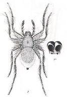 Image of <i>Lycosa leucophaeoides</i> (Roewer 1951)
