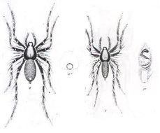 Image of <i>Venonia micarioides</i> (L. Koch 1877)