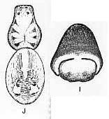 Image of <i>Trochosa wundurra</i> McKay 1979