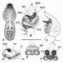 Image of <i>Artoria albopedipalpis</i> Framenau 2002