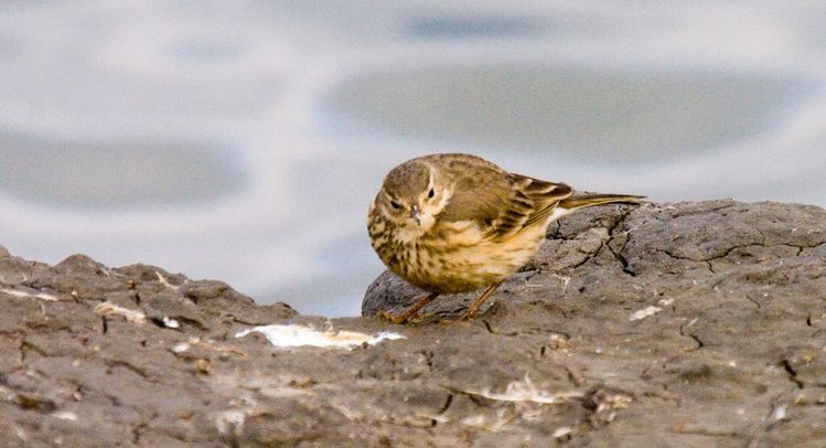 Image of American Pipit