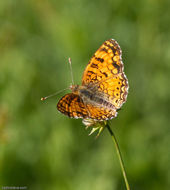 Image of brush-footed butterflies