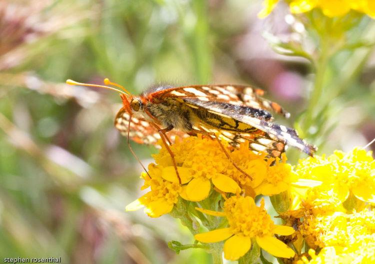 Image of golden-yarrow