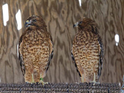 Image of hawks, eagles, and relatives