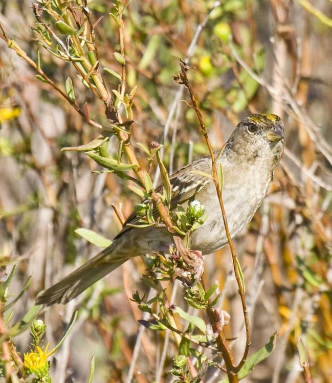 Image of Old World sparrows