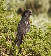 Image of Spotted Towhee