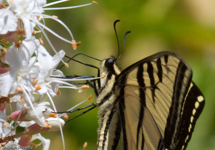 Image of swallowtail butterflies