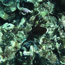 Image of <i>Octopus micropyrsus</i> Berry 1953
