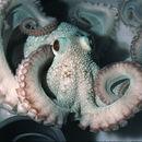 Image of Caribbean reef octopus