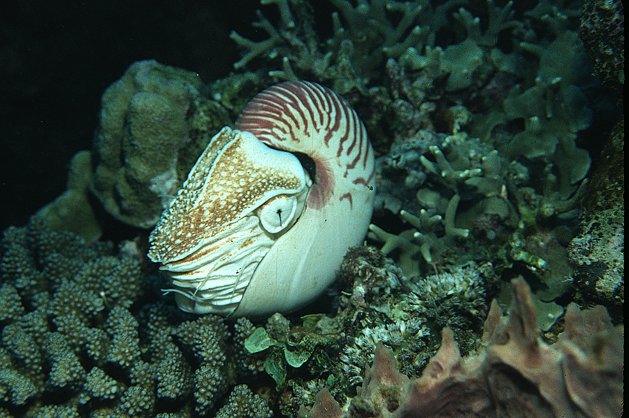 Image of chambered nautilus