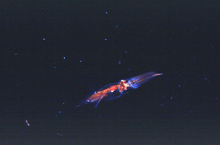 Image of Midwater Squid